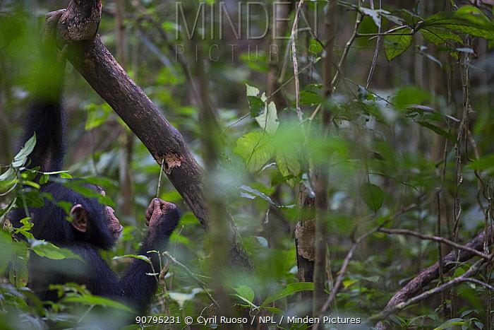 Chimpanzee (Pan troglodytes verus) juvenile male using tool  (stick) to extract prey from hole, Bossou, Republic of Guinea.