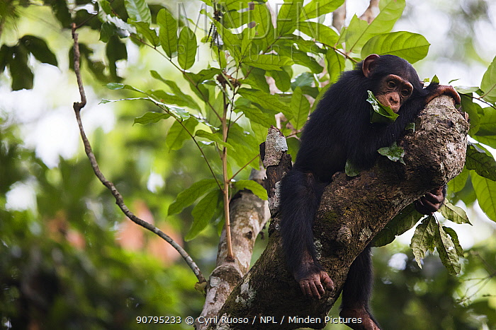 Chimpanzee (Pan troglodytes verus) juvenile male, age five years, showing tool using behaviour. This is using leaf as sponge for drinking water from tree hole. Bossou, Republic of Guinea.