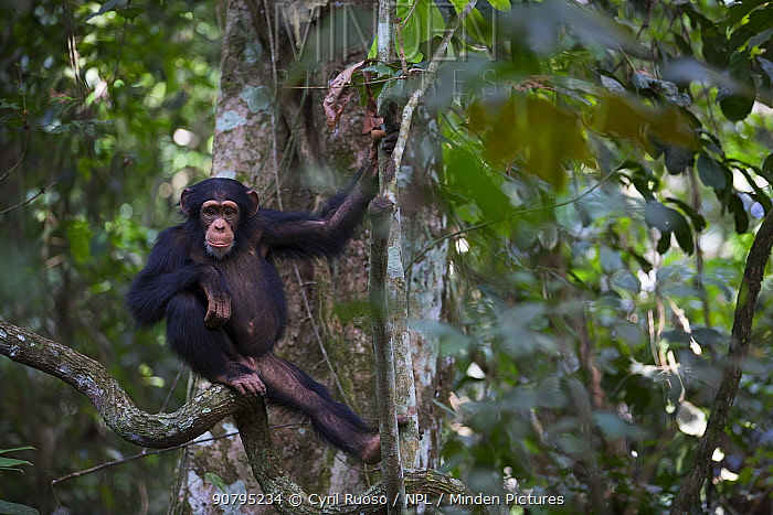 Chimpanzee (Pan troglodytes verus)  'Fanwaa' juvenile, age five years old, Bossou, Republic of Guinea.