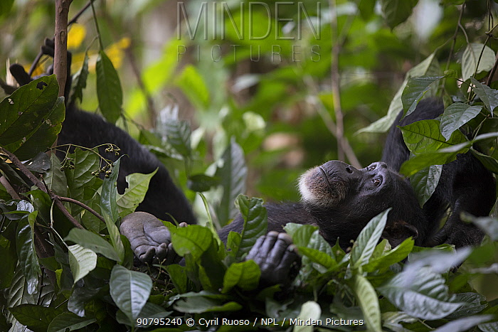 Chimpanzee (Pan troglodytes verus) 'Jire' adult female. Bossou, Republic of Guinea.