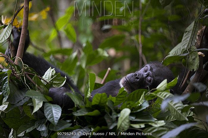 Chimpanzee (Pan troglodytes verus) 'Jire' in her nest for night.  Bossou, Republic of Guinea