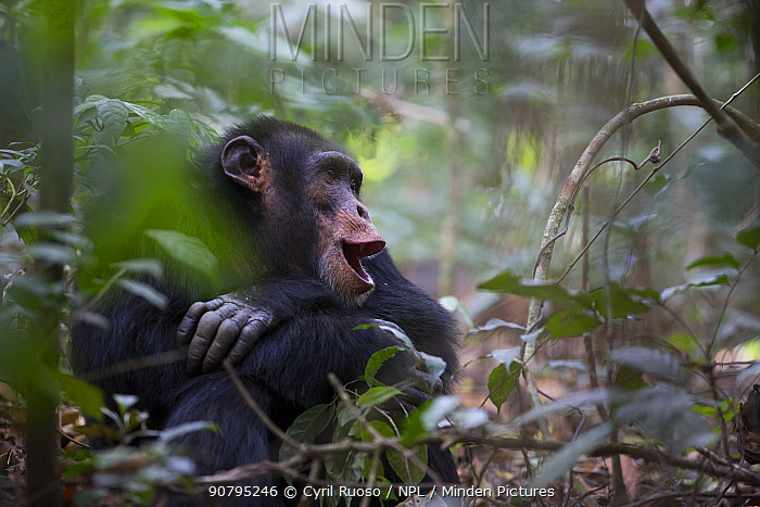 Chimpanzee (Pan troglodytes verus) 'Jeje' adult male calling,  Bossou, Republic of Guinea