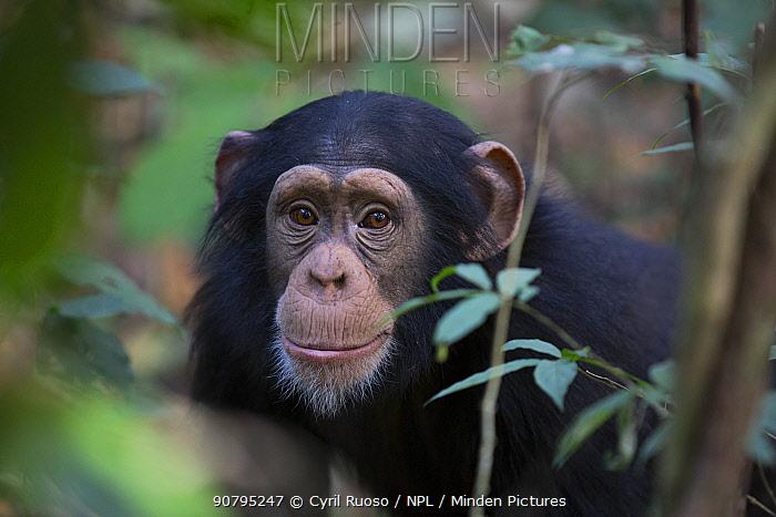 Chimpanzee (Pan troglodytes verus)  'Fanwaa' age 5 years old juvenile male. Bossou, Republic of Guinea
