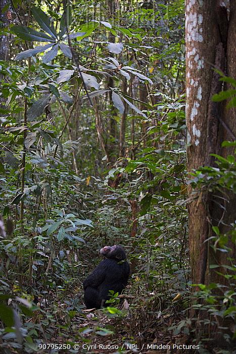 Chimpanzee (Pan troglodytes verus)  'Jeje' adult male, Bossou, Republic of Guinea