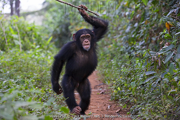 Chimpanzee (Pan troglodytes verus) 'Fanwaa' juvenile, age five, male is displaying in front of the observers, throwing sticks. Bossou, Republic of Guinea