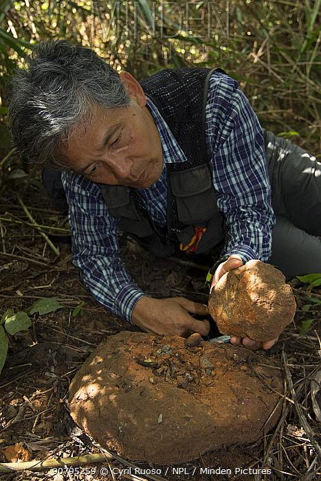Professor Matsuzawa, primatologist, in the field with stone hammer and anvil tool used by local Chimpanzees (Pan troglodytes verus) Bossou, Republic of Guinea. December 2012.
