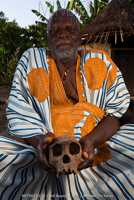 Local manon man in traditional robe with Chimpanzee (Pan troglodytes verus) skull,  Bossou, Republic of Guinea. December 2012.