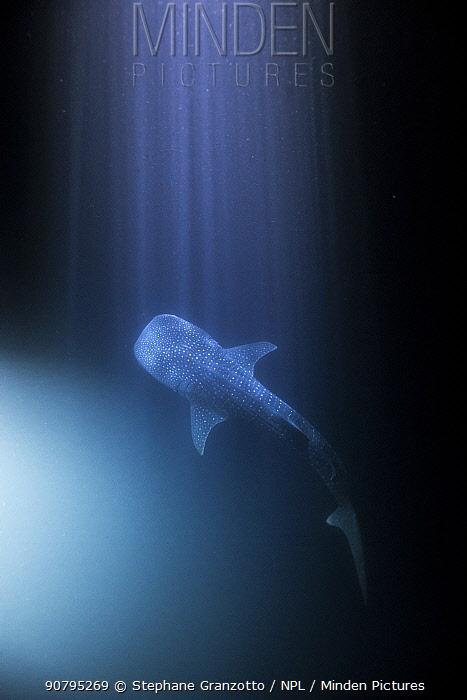 Whale shark (Rhincodon typus) at night with rays of light, Tadjourah Gulf, Djibouti.