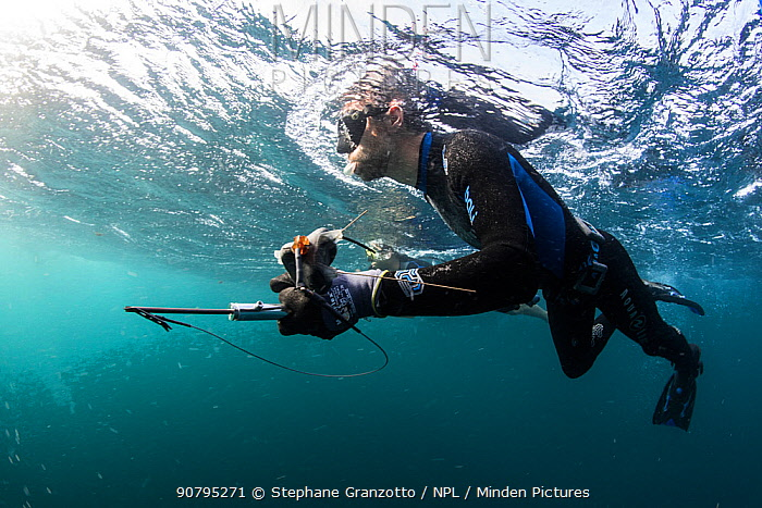 Scuba diver with equipment to attach Whale shark (Rhincodon typus) tagging device. Tadjourah Gulf, Djibouti.  December 2017.