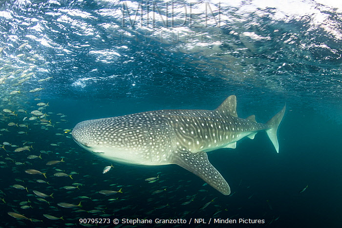 Whale shark (Rhincodon typus) Tadjourah Gulf, Djibouti.