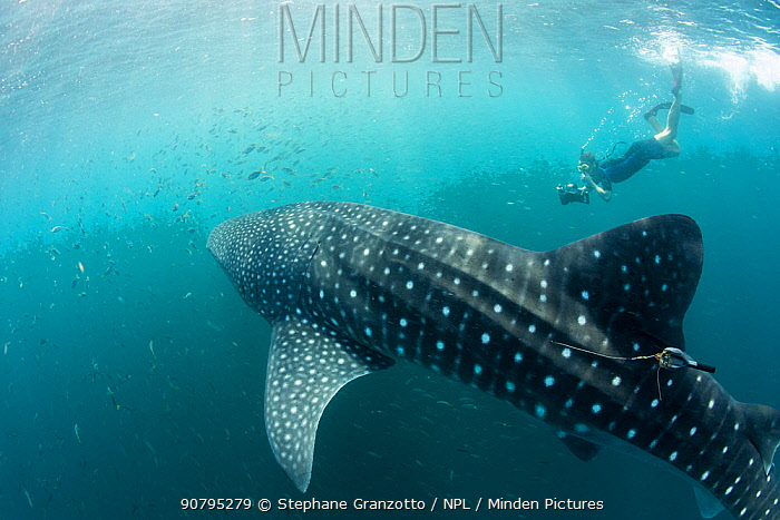 Snorkeller taking pictures of Whale shark (Rhincodon typus) with tracking tag, Tadjourah Gulf, Djibouti.  December 2017.
