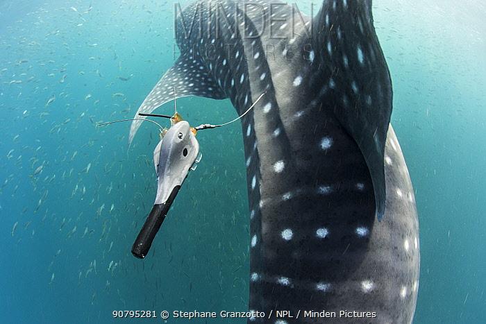 Whale shark (Rhincodon typus) with tracking tag, Tadjourah Gulf, Djibouti.