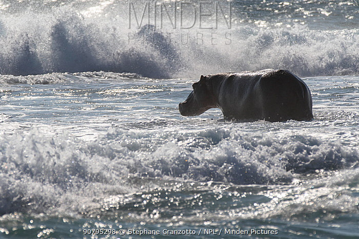 Hippo (Hippopotamus amphibius) standing in the waves of the Indian Ocean, South Africa.