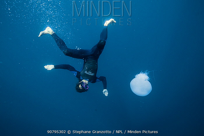 Diver withJellyfish (Rophilema nomadica) Mediterranean sea, Israel.  Invasive species.