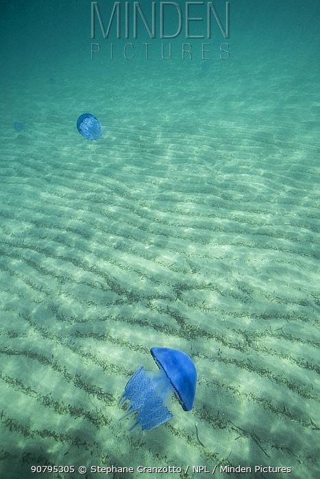 Jellyfish (Rhizostoma pulmo) Mediterranean sea, Corsica