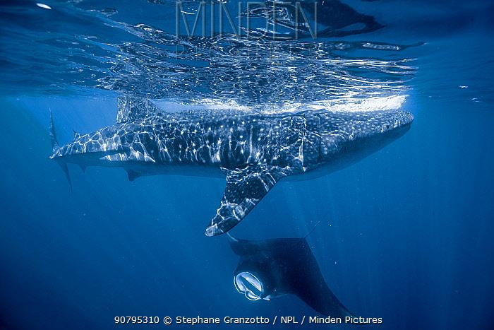 Whale shark (Rhincodon typus) and Manta ray (Manta birostris) during a sardine run, Yucatan, Mexico.