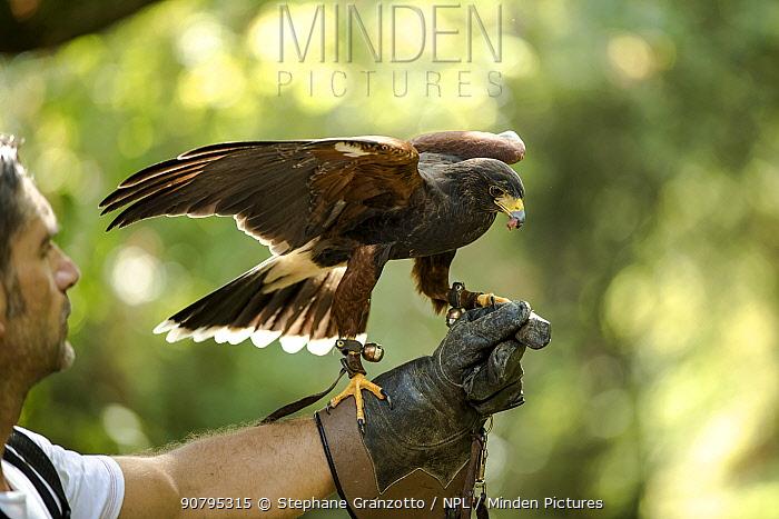 Harris hawk (Parabuteo unicinctus) falconry bird feeding on falconers hand.
