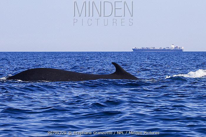 Fin whale (Balaenoptera physalus), Mediterranean Sea, Corsica