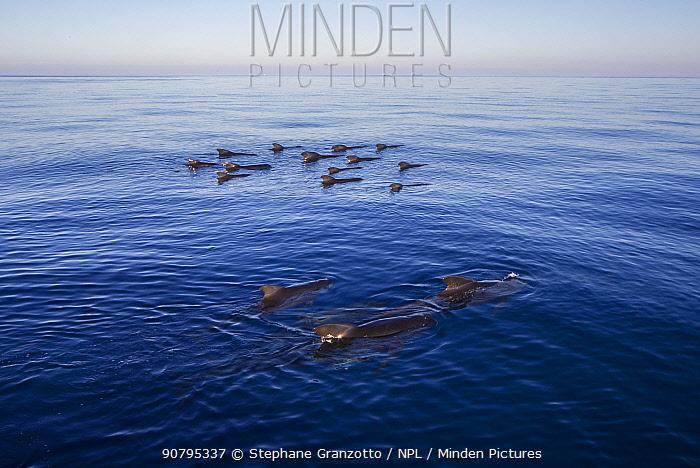 Long-finned pilot whale (Globicephala melas) pod, Mediterranean Sea, Corsica