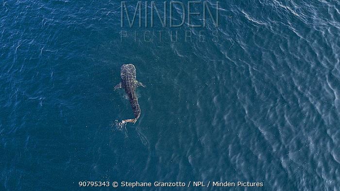 Aerial view of Whale shark (Rhincodon typus) Tadjourah Gulf, Djibouti.