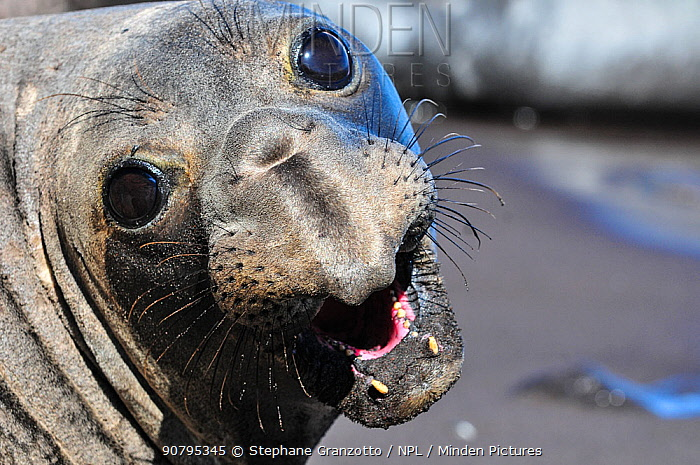 Northern elephant seal (Mirounga angustirostris) portrait,  Guadalupe.