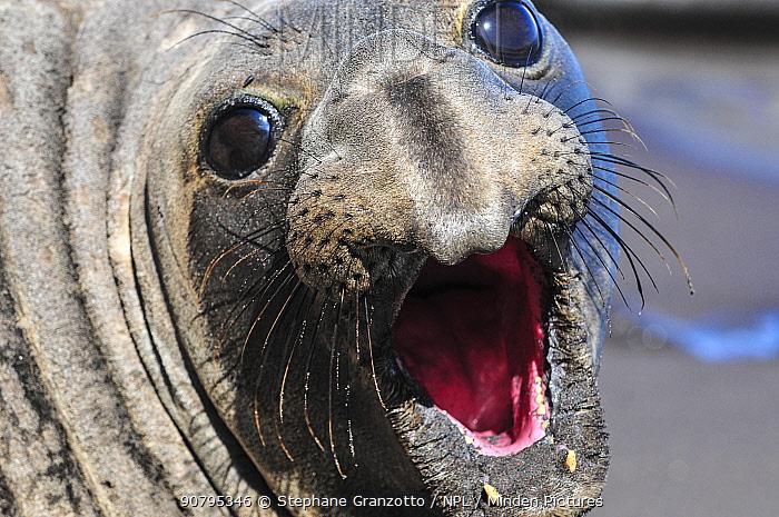 Northern elephant seal (Mirounga angustirostris) portrait, Guadalupe.