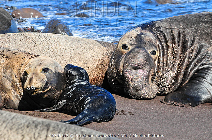 Northern elephant seal (Mirounga angustirostris) female with pup on beach, with large male behind. Guadalupe.