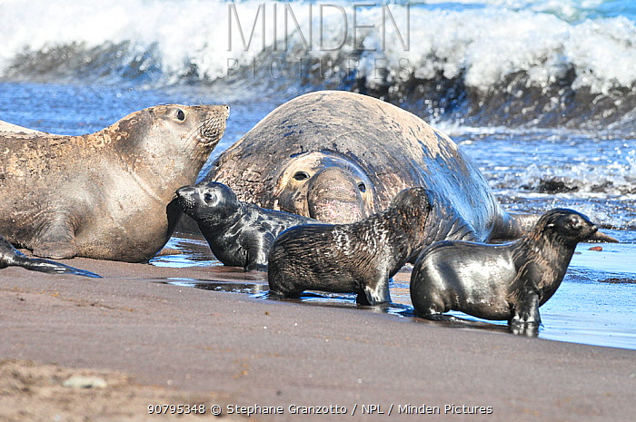 Northern elephant seal (Mirounga angustirostris) female with pups on beach, with large male behind. Guadalupe.