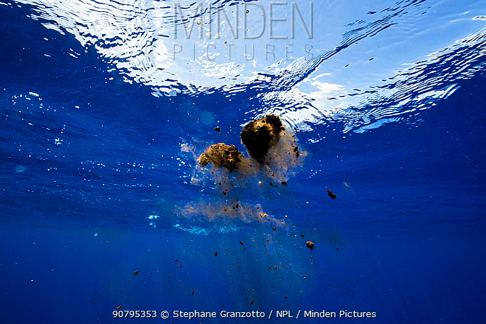 Sperm whale (Physeter macrocephalus) faeces, Mauritius, Indian Ocean.