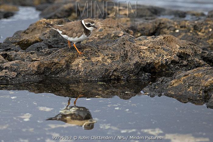 Ringed plover (Charadrius hiaticula), Fuerteventura, Canary Islands, Spain. February.