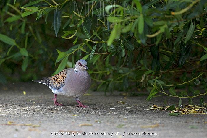 Turtle dove (Streptopelia turtur), Norfolk, England, UK. June.