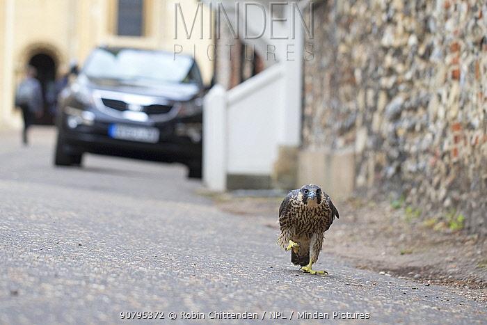 Peregrine (Falco peregrinus) walking along street, Norwich, Norfolk, England, UK. June 2018.