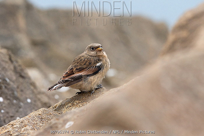 Snow bunting (Plectrophenax nivalis) perched on rock, Iceland. June.