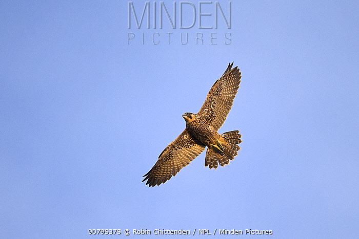 Peregrine (Falco peregrinus) flying,  Norwich, Norfolk, England, UK. June.