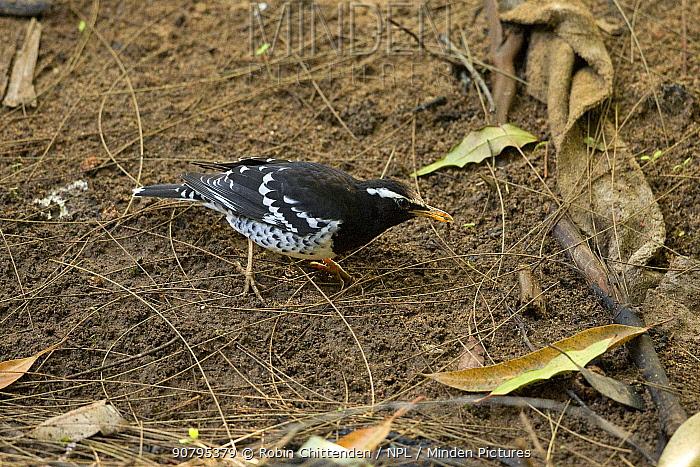 Pied ground thrush (Geokichla wardii) male, Sri Lanka.