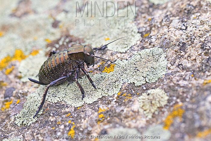 Bronze glandular bush-cricket (Bradyporus dasypus), Romania. April.