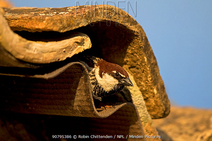 Italian sparrow (Passer italiae) emerging from under roof tile, Sicily, Italy. April.