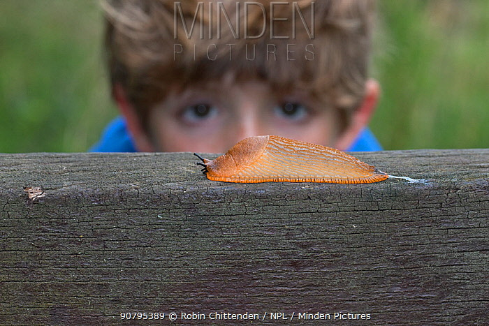Boy observing Black slug (Arion ater), brown form. Norfolk, UK. September 2017.