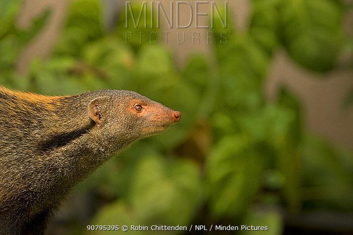 Stripe-necked mongoose (Herpestes vitticollis), Sri Lanka.