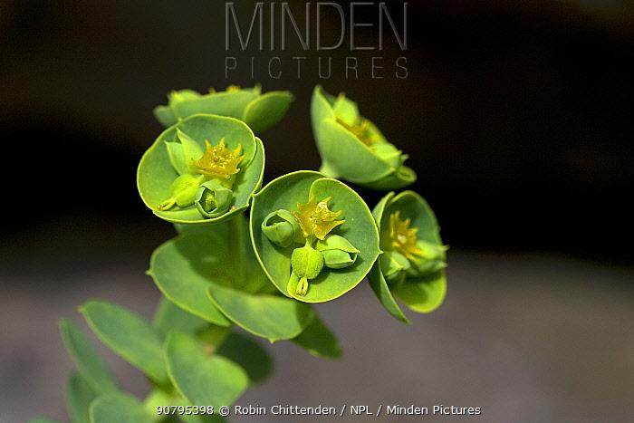 Portland spurge (Euphorbia portlandica), Dorset, UK. April.