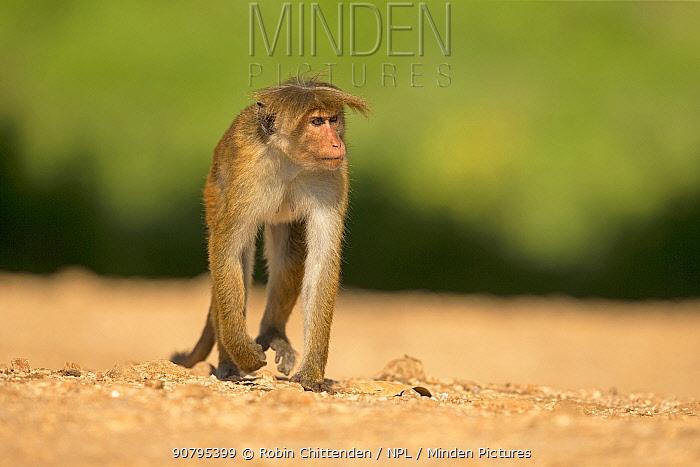 Toque macaque (Macaca sinica), Sri Lanka.