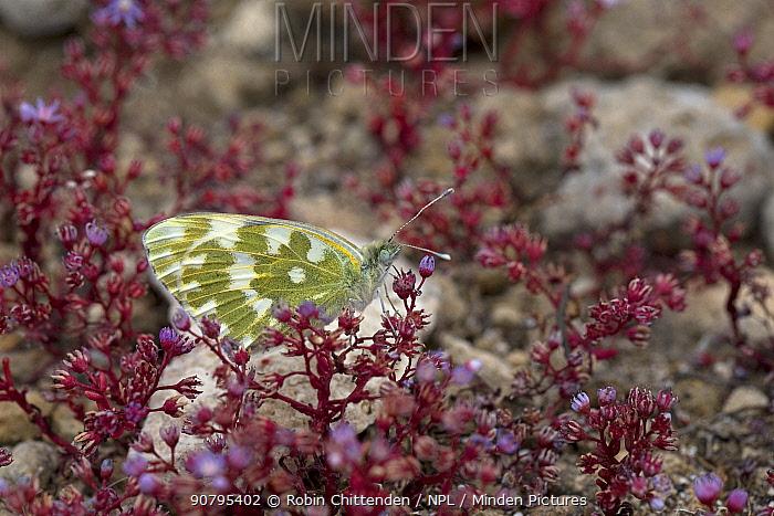 Eastern Bath white (Pontia edusa), Sicily, Italy. April.