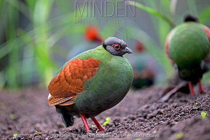 Crested partridge (Rollulus rouloul) female. Captive in  UK.
