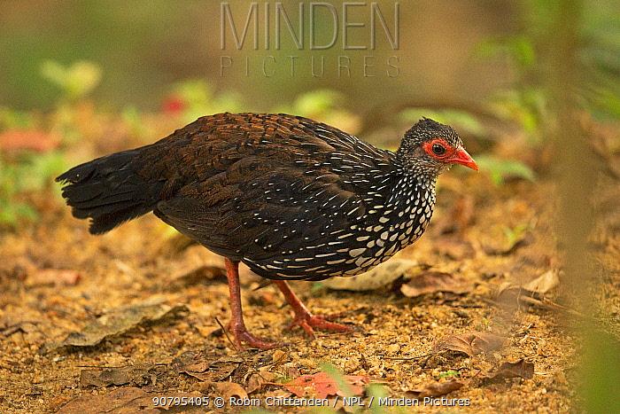 Sri Lanka Spurfowl (Galloperdix bicalcarata) male, Sri Lanka.