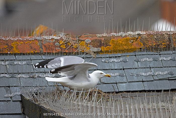 Herring gull (Larus argentatus) nesting on roof amongst bird spikes, Cornwall, England, UK. April 2018.