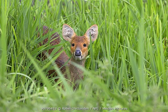 Chinese water deer (Hydropotes inermis), Norfolk, England, UK. June.