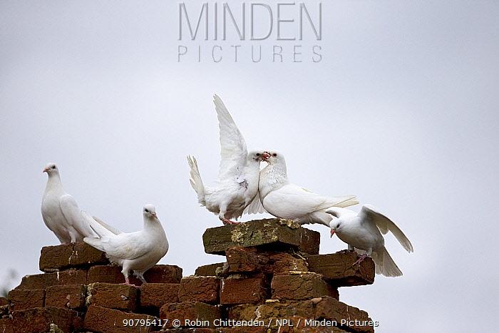 Feral pigeon (Columba livia) group perching on bricks, Suffolk, England, UK. September.