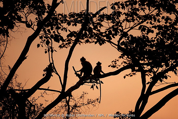 Tufted grey langur (Semnopithecus priam priam), two sitting in tree at night, Sri Lanka.