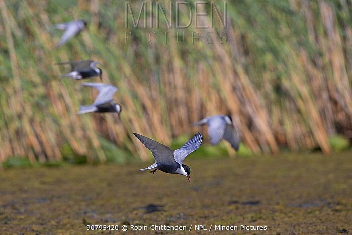 Whiskered tern (Chlidonias hybrida) group in flight, Romania. May.