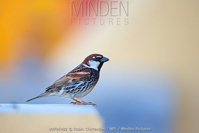 Spanish sparrow (Passer hispaniolensis). Fuerteventura, Canary Islands, Spain. February.